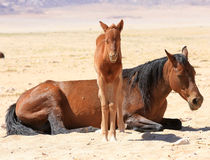 © Namibia Wild Horses Foundation